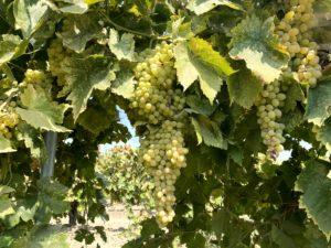 Marian Farms Thompson Grapes