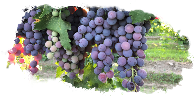 Marian Farms Red Seeded Muscat Grapes