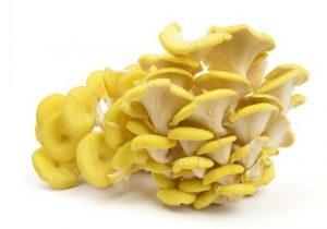 Yellow Oyster Mushroom