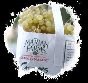 Marian Thompson Grape